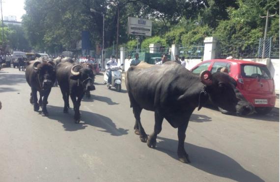 street buffalo